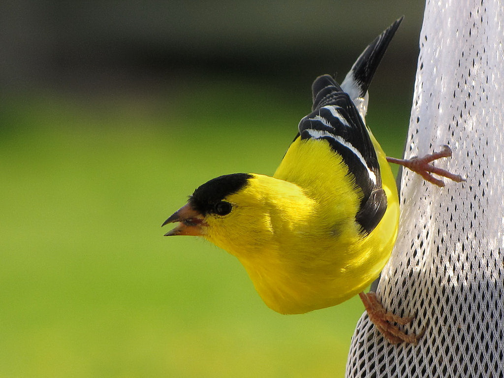 Yellow Finch Cute Wallpapers