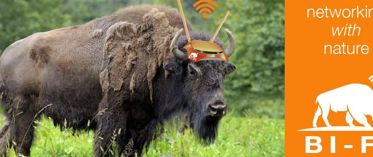 BI-FI Website Single Bison