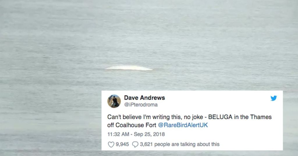 People are worried about this lost beluga whale that was spotted in London's River Thames