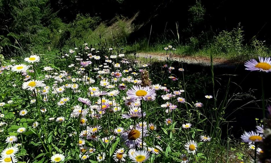 14-daisies