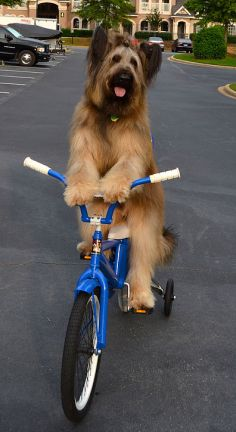 Norman the cycling dog