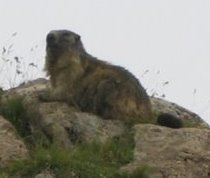 A Marmotte - near Col de l'Iseran