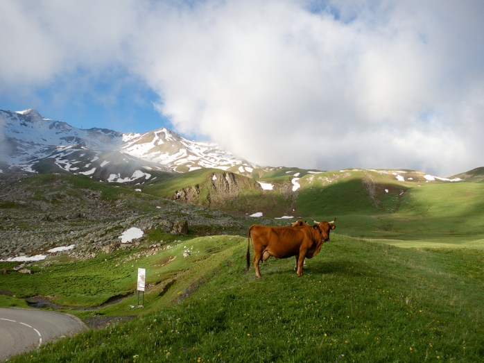 Galibier Cow