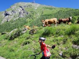 Moo, Beaufort Cows