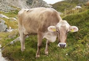 Lei parla Italiano e vorrebbe dormire adesso (sleepy cow)