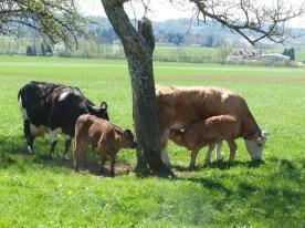 Calves everywhere