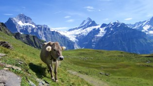 Moo. Trail descent from Bachalpsee