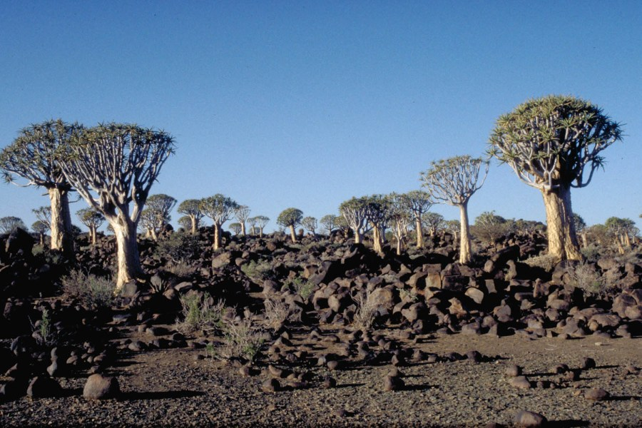 the Quiver tree forest near Keetmanshoop