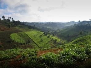 tea plantations north of Nairobi