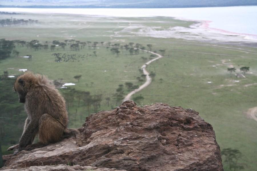 Baboon at Nakuru National Park