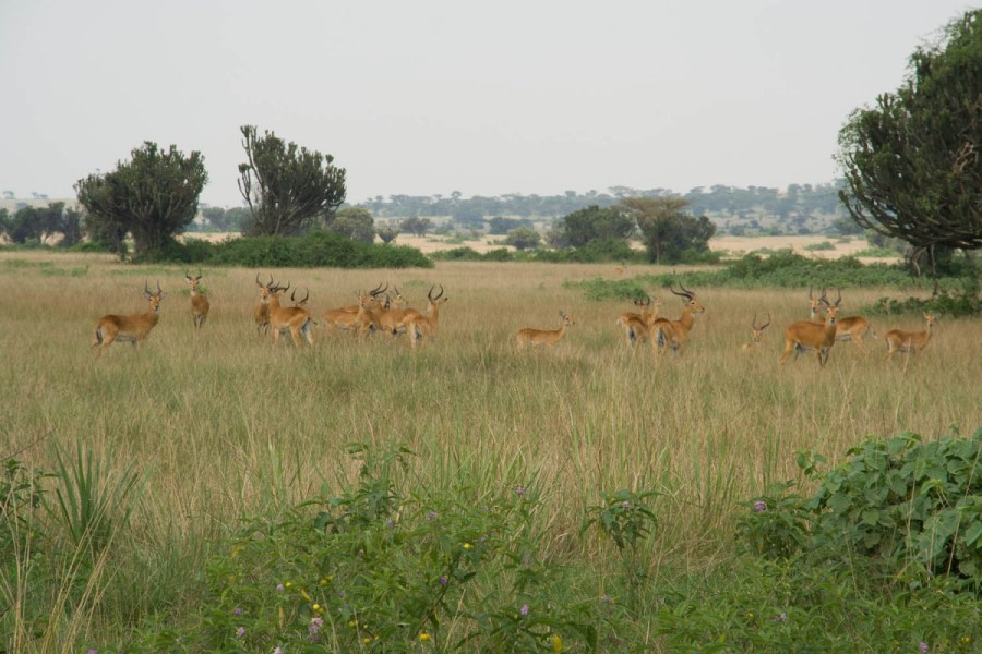 impala's from the main road