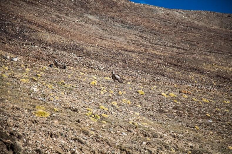 Himalayan Griffon Vulture near Tanglang La