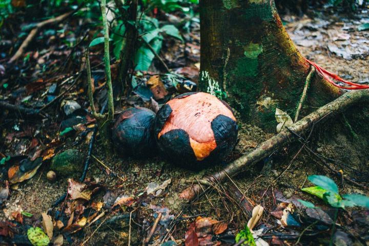 rafflesia flower not blooming
