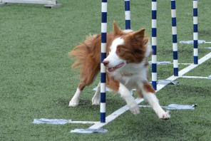 Crush the Border Collie weaves through poles