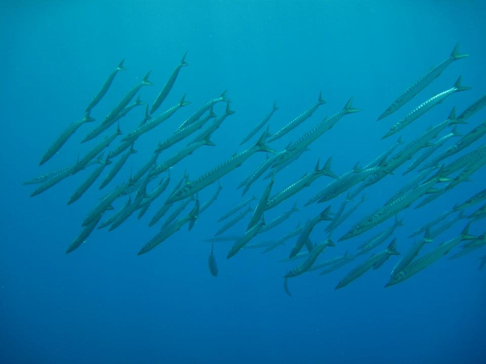 diving with barracuda