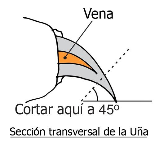 seccion-transversal-de-la-una