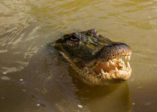 swamp croc0265
