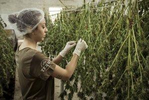 a weed farmer