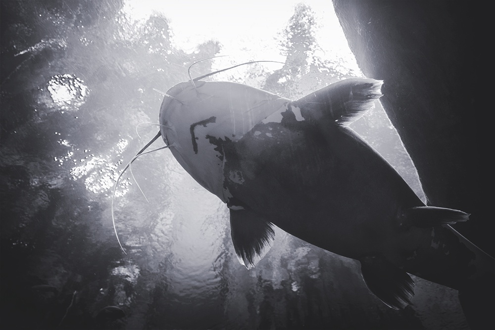 Black and white photo of a giant catfish from below.