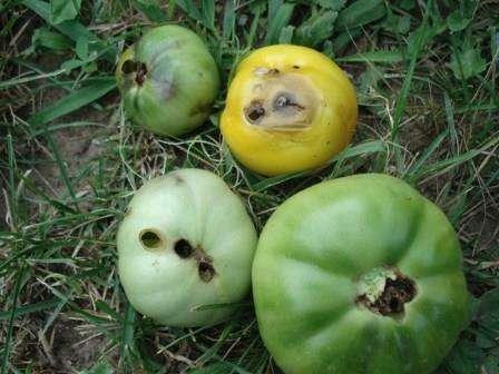 Вредители томатов и борьба с ними. Фото вредителей помидор