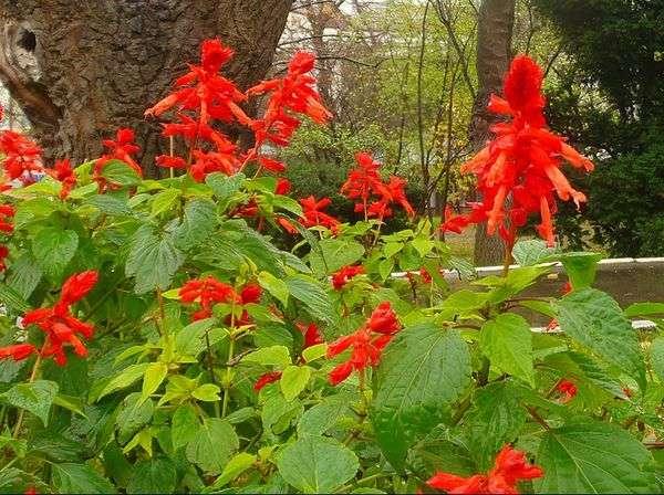 Сальвия: фото цветов, подготовка рассады, когда сажать и как