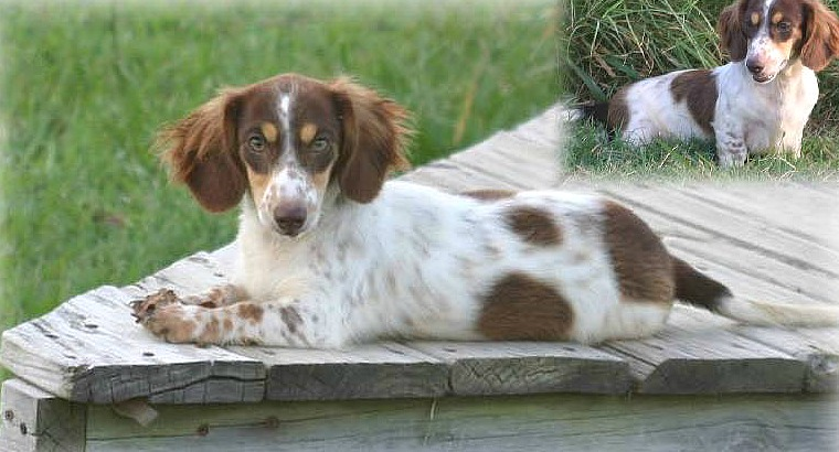 Long Haired Piebald Dachshund Colors