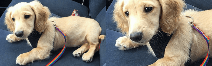 How to Keep Your Dachshund Cool in the Car