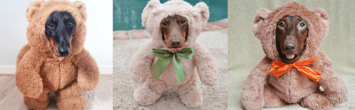 #DoxieBear Takeover!