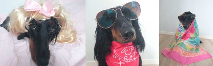 This Doxie Thinks She's the New Britney Spears!