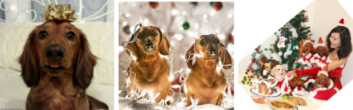 Tips for the Perfect Christmas Photos of your Wiener