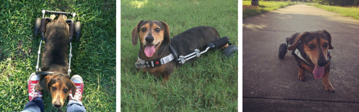 How Jasper the Dachshund Became Paralyzed