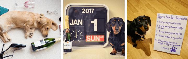 Wienerdogs Celebrating New Year's Eve!