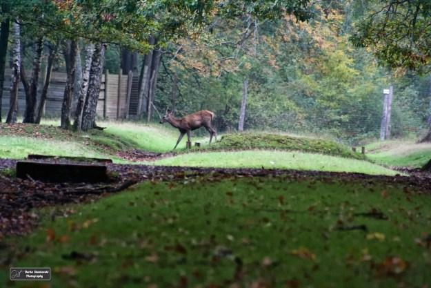 Un cerf sortant du chemin avec le 350 D et au 300 mm (N.Stankovski)