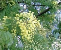 mimose-febbraio-Sig.ra Lidia-San Vito