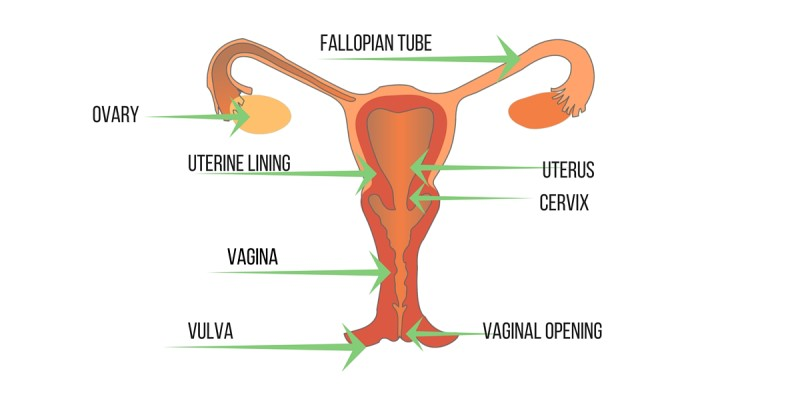 Image of the Female Reproductive System