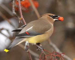Photo Credit: http://www.audubon.org/field-guide/bird/cedar-waxwing