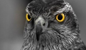 hawk-web