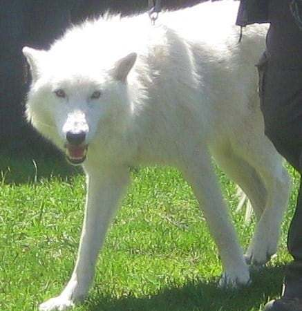 Wordless Wednesday — Meet Atka, the Wolf