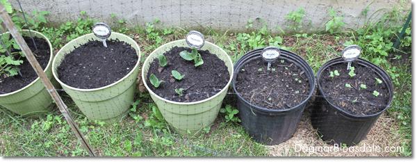 Inexpensive DIY Container Gardening, DagmarBleasdale.com