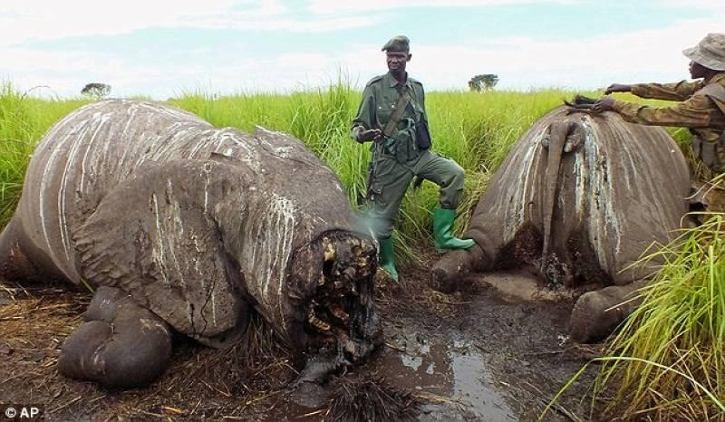 Risultati immagini per strage avorio elefanti