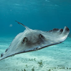 underwater photograph of a stingray.