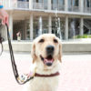 Dog on a leash sits on Sproul Plaza and looks in the direction of the camera.