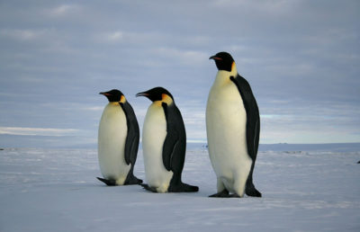 Photo of penguins