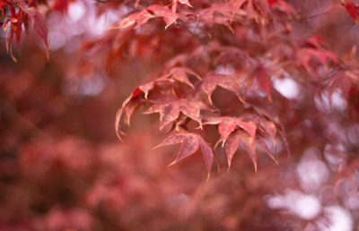 Photo of red autumn/fall leaves
