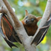 Photo of a short-nosed fruit bat