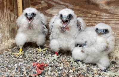 Photo of young falcons