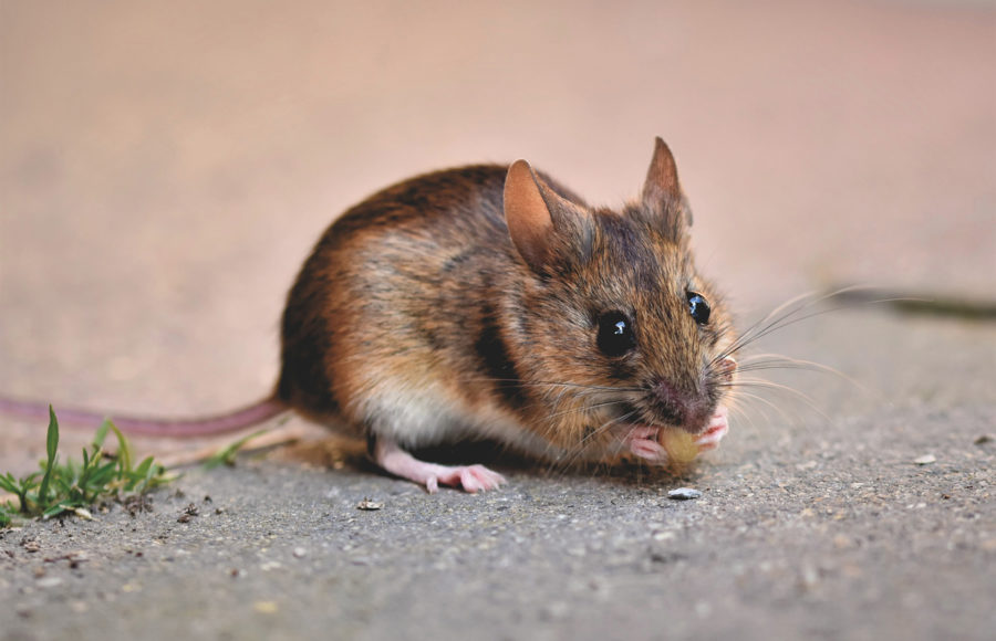 Photo of house mouse