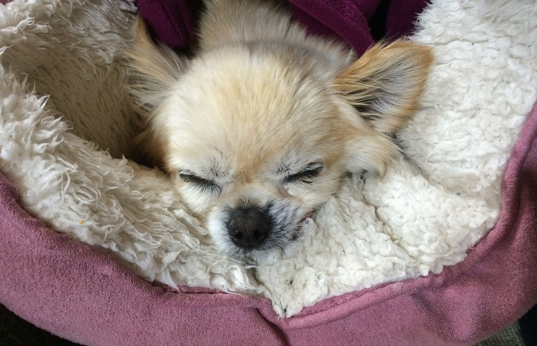 Why you should get a long-haired chihuahua