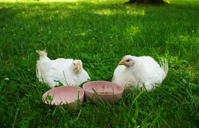 photo of two chickens in the grass eating