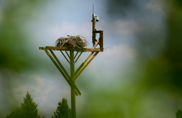 Osprey on the nest at Cattail ...
